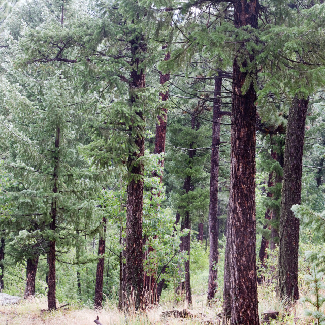"""Pine Forest, Colorado"" stock image"