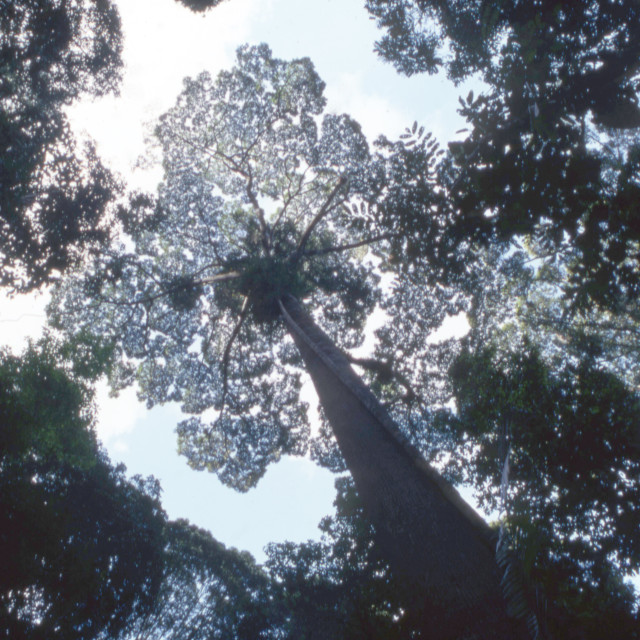 """Rainforest tree canopy, Borneo"" stock image"