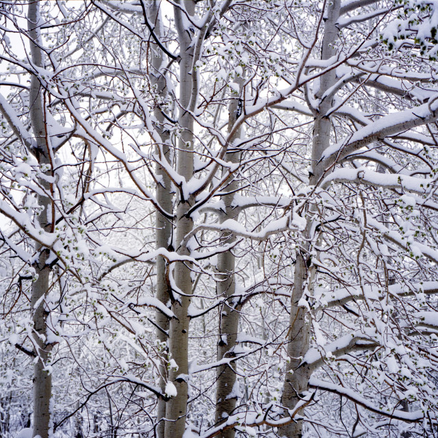 """Snow covered trees"" stock image"