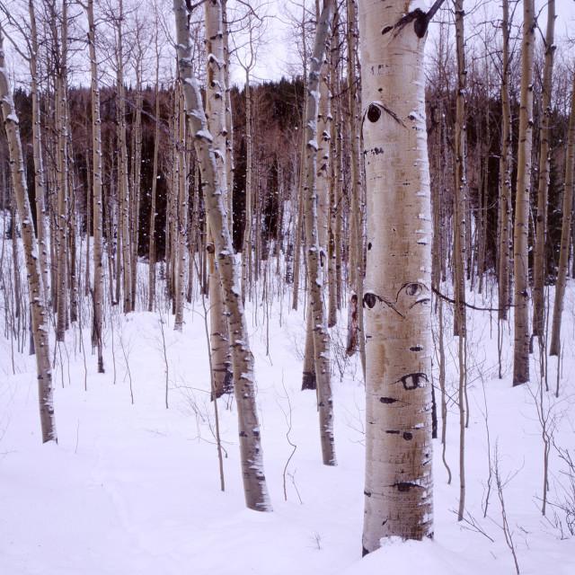"""Aspen trees, Colorado"" stock image"