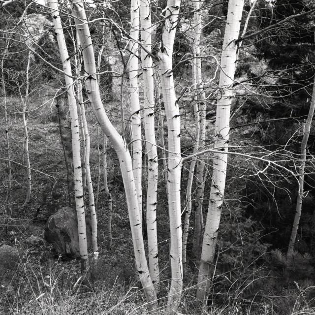 """""""Aspen trees in summer, CO"""" stock image"""