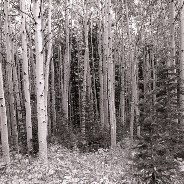 """Aspens trees"" stock image"