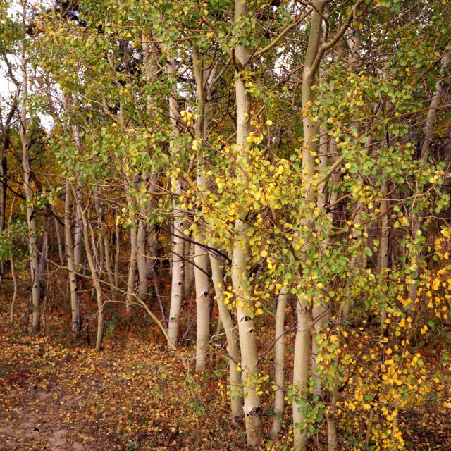 """Fall aspen tree 2, Boulder, CO"" stock image"