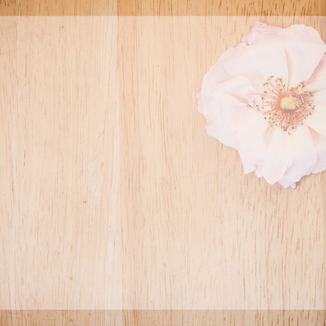 """faded pink rose blossom"" stock image"