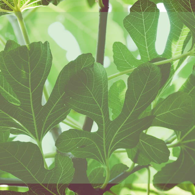 """common fig leaves background - ficus carica"" stock image"