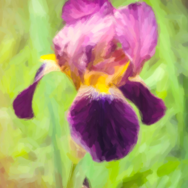"""iris blossom digital painting"" stock image"