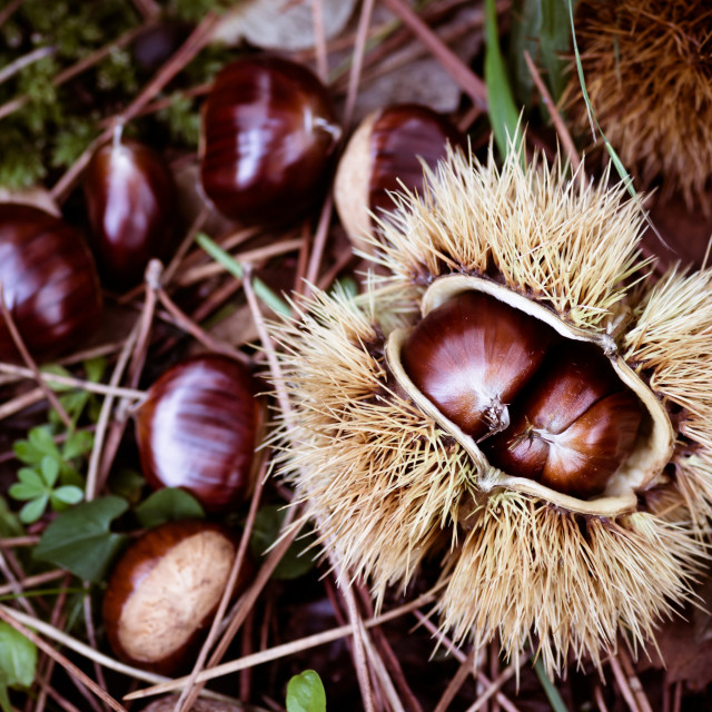 """green grass leaves and chestnuts backgrounds"" stock image"