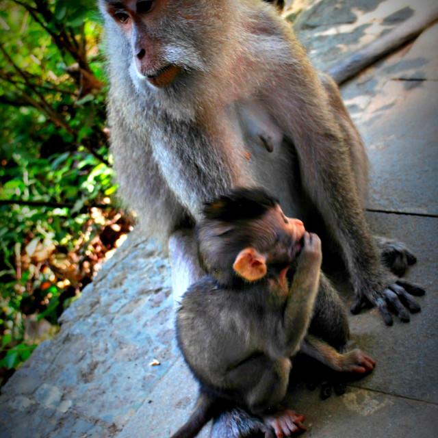 """""""Ubud Monkey Forest"""" stock image"""