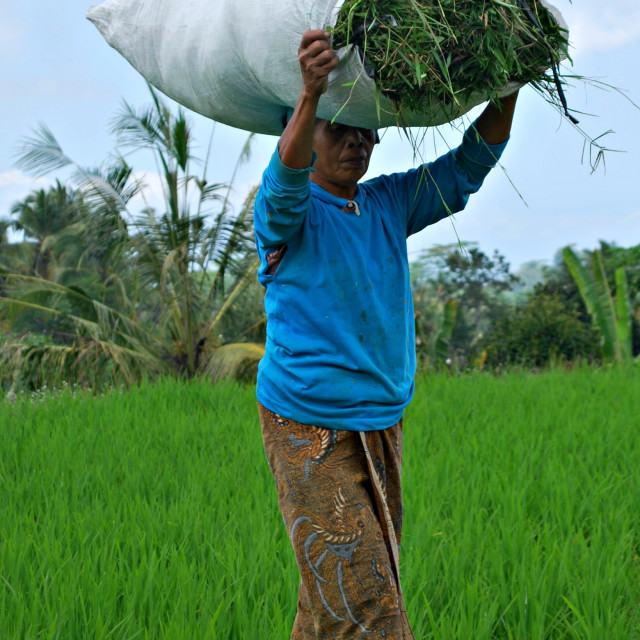 """Working in the Padi Fields"" stock image"