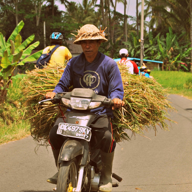 """Transporting the rice"" stock image"