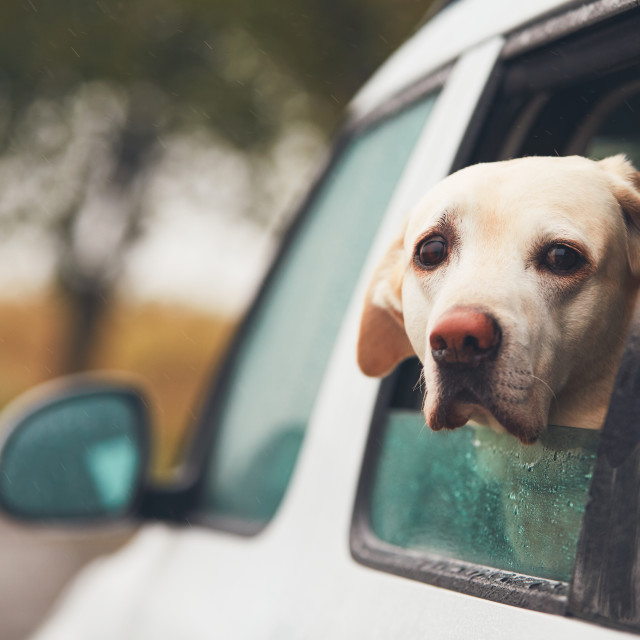 """""""Dog looking out of a car"""" stock image"""