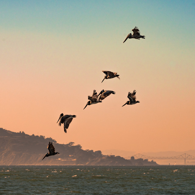 """Brown Pelicans diving into the Pacific Ocean in the San Francisco Bay"" stock image"
