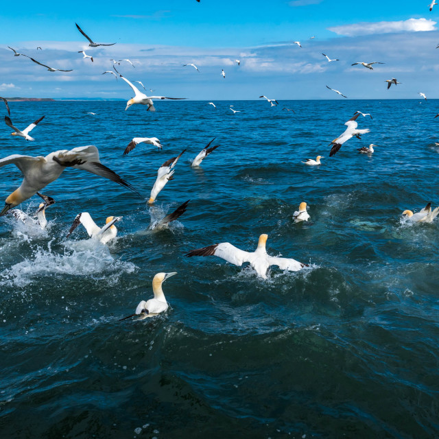 """""""Wide angle view of gannets diving"""" stock image"""