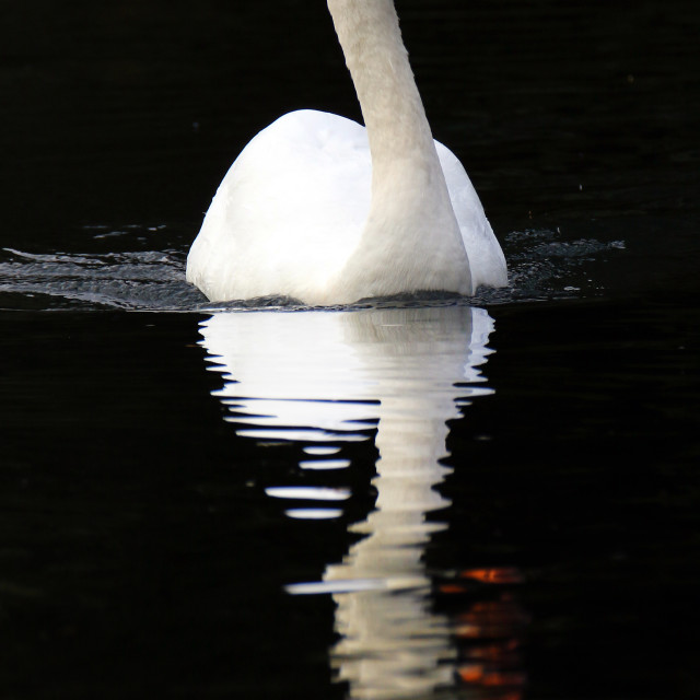 """Mute swan dawn reflection"" stock image"