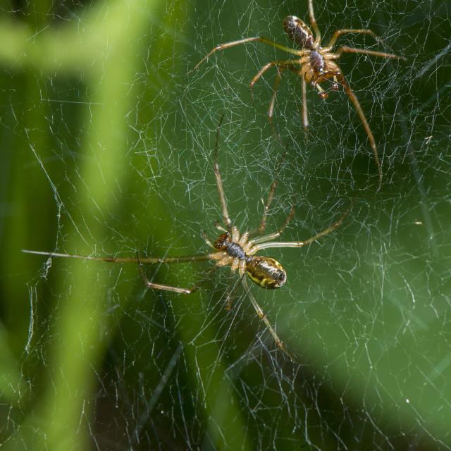 """Spiders."" stock image"
