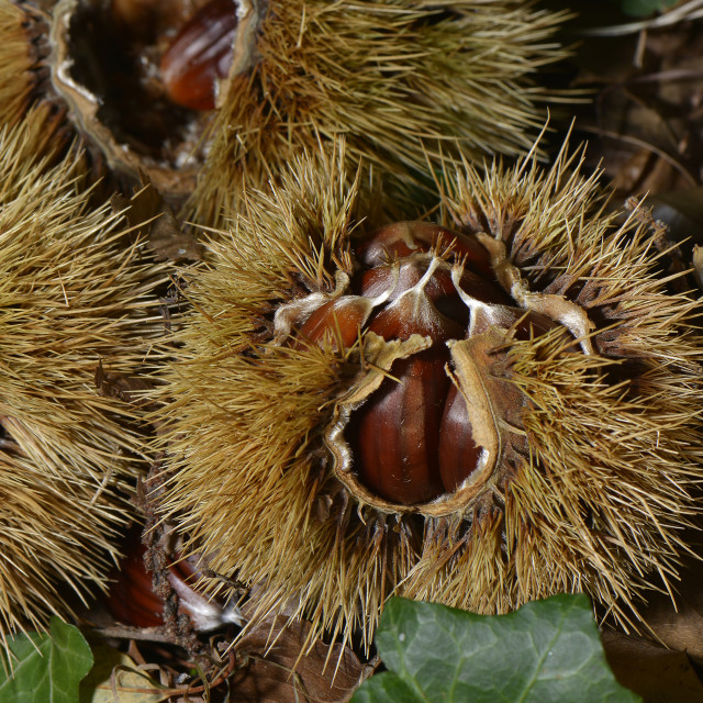 """""""Chestnuts"""" stock image"""