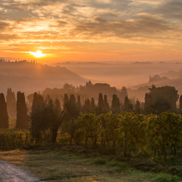 """Sunrise over the vines"" stock image"