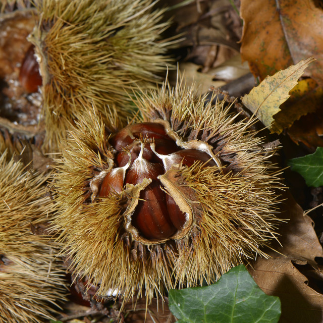 """Chestnuts"" stock image"