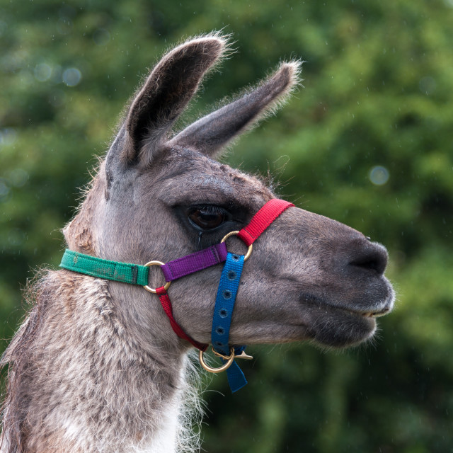 """""""Llama"""" stock image"""