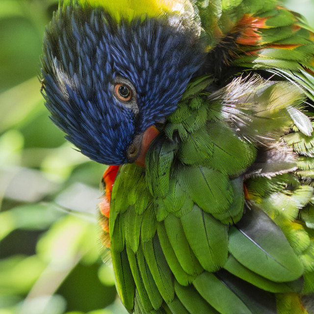"""""""Rainbow Lorikeet cleaning your feathers."""" stock image"""