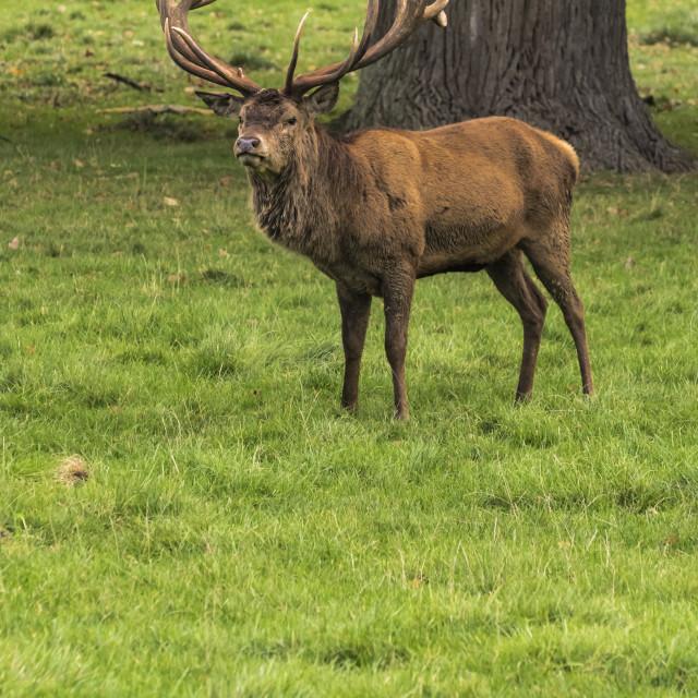 """Woburn - Deer in the Park"" stock image"