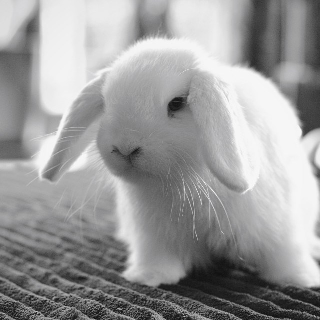 """White fluffy bunny"" stock image"