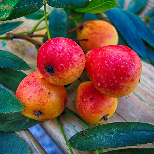 """A forgotten fruit: sorbe"" stock image"