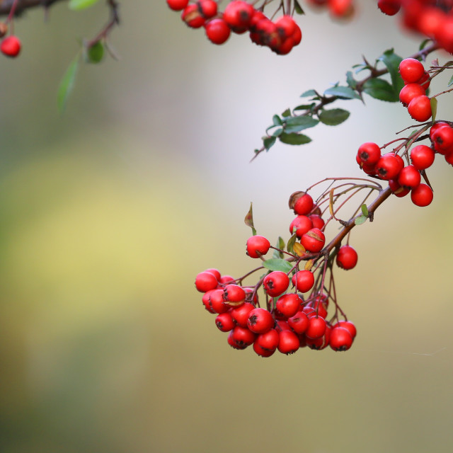 """Red decorative tree seeds"" stock image"