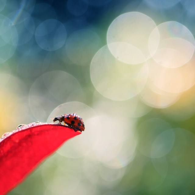"""Red Ladybug on the red leaf"" stock image"