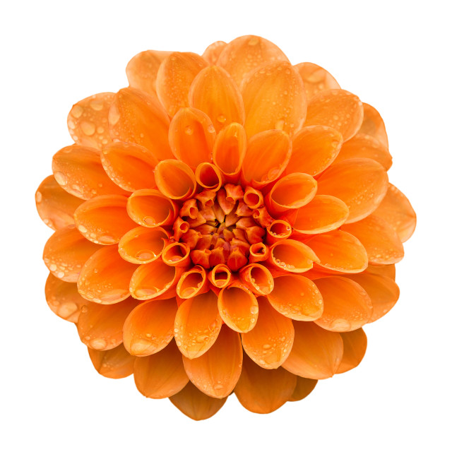 """Orange yellow Dahlia flower isolated on white"" stock image"