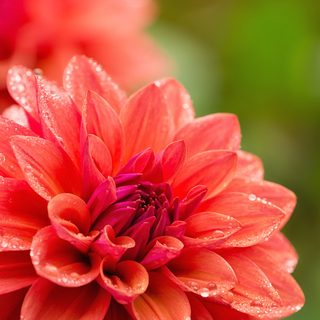 """Dahlia flower with water drops on petals after rain"" stock image"