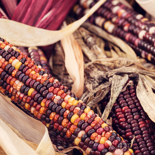 """Closeup of Indian Corn at farmers market in autumn"" stock image"