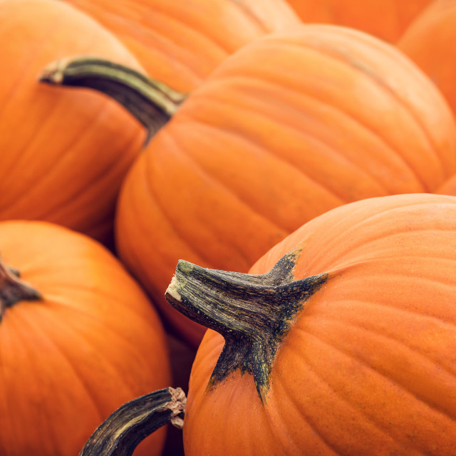 """Pie pumpkins for sale at a pumpkin patch in autumn"" stock image"