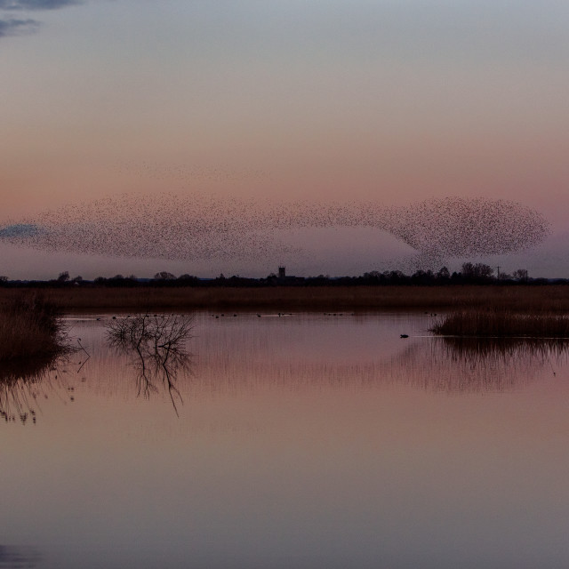 """Starlings Murmuration at Otmoor RSPB Reserve"" stock image"