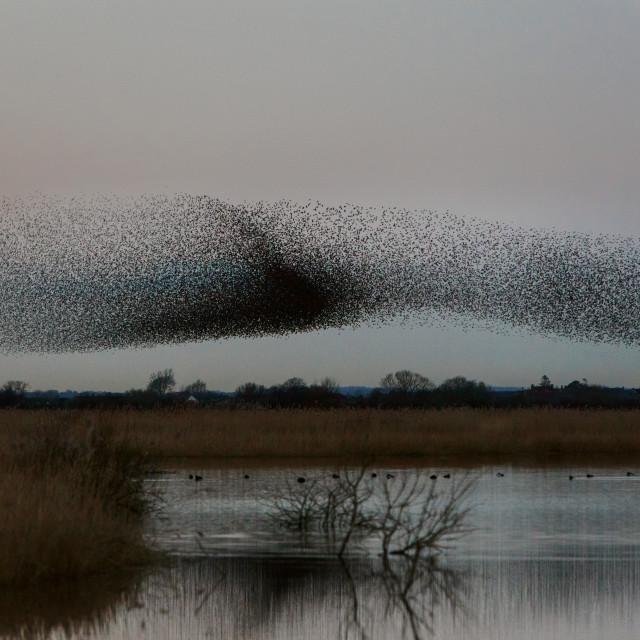 """""""Starlings Murmuration at Otmoor RSPB Reserve"""" stock image"""