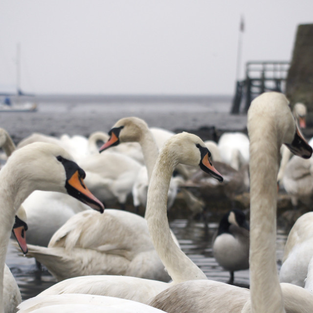"""""""A swan party"""" stock image"""