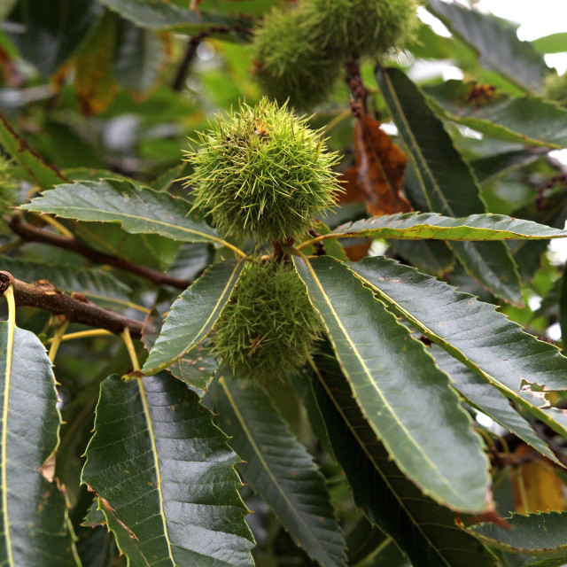"""""""Sweet chestnuts on a tree."""" stock image"""