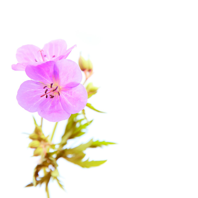 """Pink flowers on white background"" stock image"