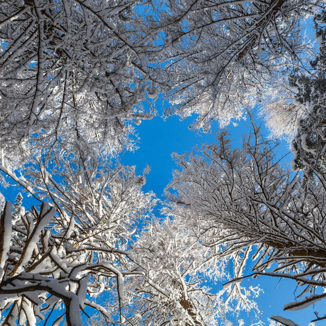 """Trees covered with snow against clear blue sky"" stock image"