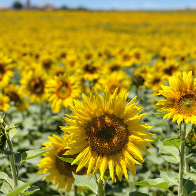 """Sunflower Field"" stock image"