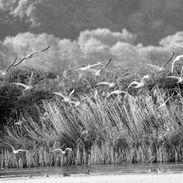"""Flock of gulls in flight"" stock image"