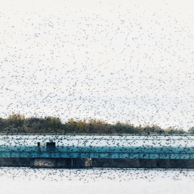 """""""Starlings murmuration"""" stock image"""
