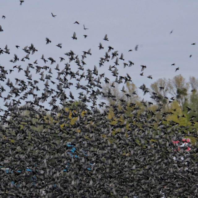 """""""Swarm of starlings"""" stock image"""