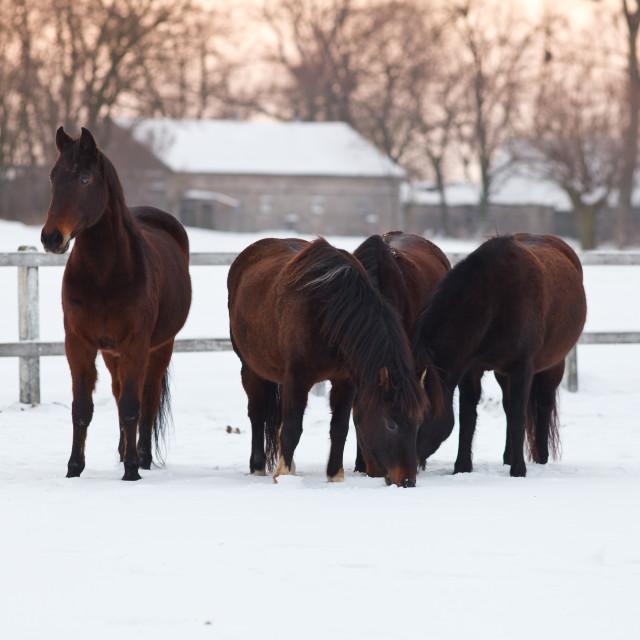 """Four horses on winter paddock"" stock image"