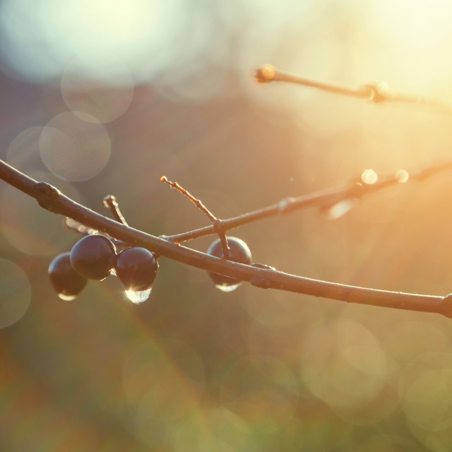 """Berries and water drops on branch against sunset"" stock image"