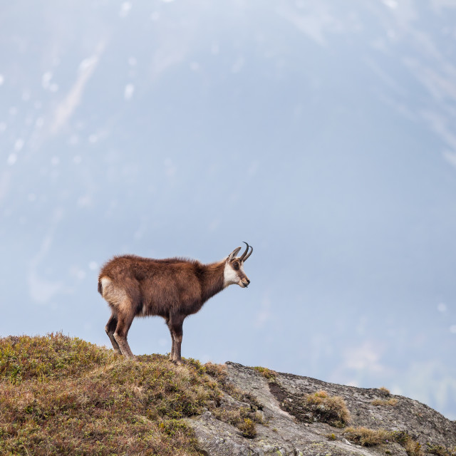 """Chamois in High Tatras National Park"" stock image"