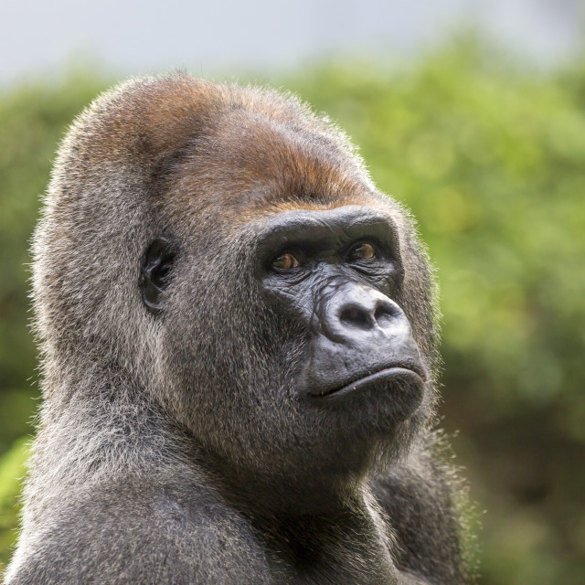 """Close-up of a Gorilla.."" stock image"