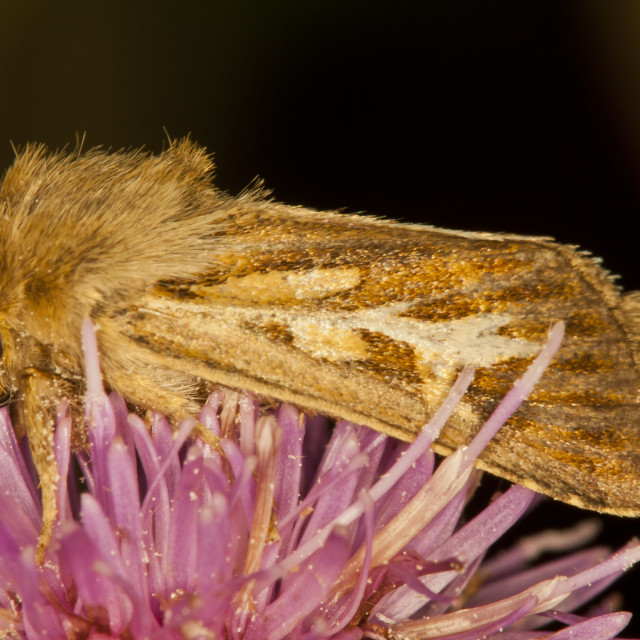 """Antler Moth (Cerapteryx graminis)"" stock image"