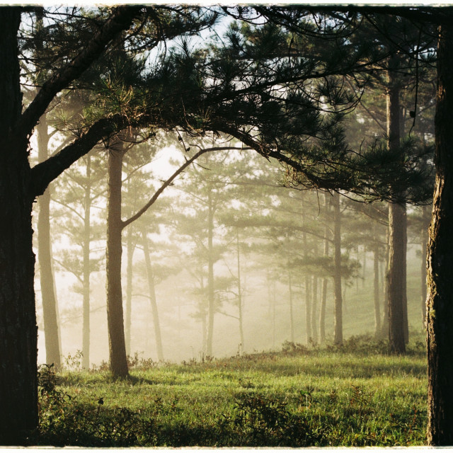 """Early morning in the pine hill"" stock image"