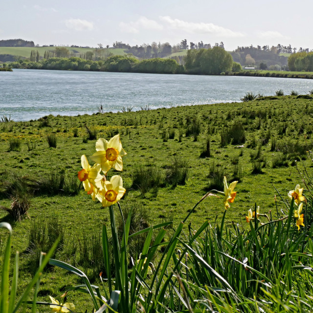 """lakeside daffodils"" stock image"